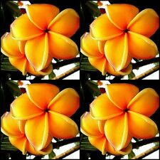Plumeria Frangipani Tree < MANGO > 10 Seeds