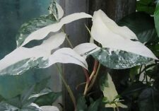 Variegated Plant syngonium podophyllum variegata 'Albo Variegata' Arrowhead Vine