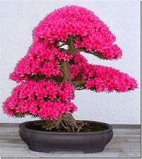 Bonsai Tree Japanese Sakura Seeds 10pcs ,Bonsai Flower Seeds Cherry Blossoms
