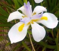 Dietes iridioides 15 Seeds African Iris Cape Iris Ornamental Garden Plant