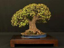 Portulacaria plant / bonsai - Dwarf jade plant - Elephant bush - 2 x Cuttings
