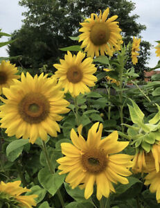 Sunflower seeds x10 Easy to grow over 3 metres tall Very tall and large flowers