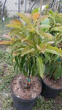Large Grafted Avocado Tree Florida Hass Green 8-12 oz Late Fall Cold Hardy