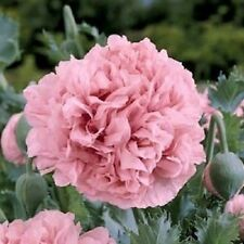 100+ Pale Rose Peony Poppy Flower Seeds / Papaver / Annual