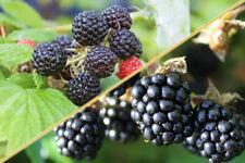 100pcs Blackberry Rubus Fruit Seeds Mixed Black Raspberry Bonsai Perennial Bush