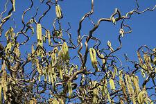 Korkenzieherhasel Haselnuss Corylus avellana 'Contorta' 40-60  cm im Container