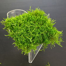 Mini South America Moss Pad Stainless Steel Mesh - Live Aquarium Plants Tank