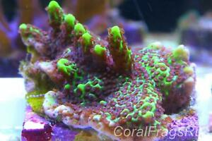 Marine coral,montipora confusa,Bright green with brown polyps,Stunning grown out