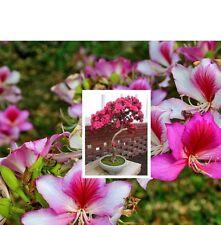 Bauhinia variegata (Orchid Tree) - 10 Seeds