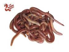 100+ Live European Nightcrawlers Jumbo Belgium Red Wiggler Fishing Compost Worms