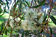 Eucalyptus annulata (Gum Tree) in 50mm forestry tube native plant tree