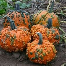 Warty Knucklehead Pumpkin Seeds. 20 Seeds. Great for Jack o Lanterns and Edible