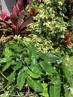 "Philodendron 'Burle Marx' - Live Plant Cutting  5 to 7"" tall . 1 cutting"