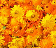 CALENDULA PACIFIC BEAUTY Calendula Officinalis - 2,000 Bulk Seeds