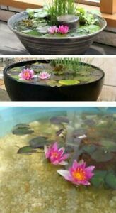 Seerose Rose arey winterfest frostharte blühende Teichpflanzen Schwimmpflanzen