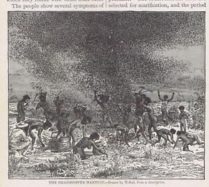Grasshopper Harvest in Australia - 1915 Page of History