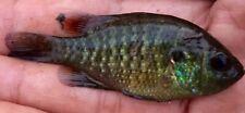 """2 Live Bantam Sunfish 1-2.75"""" Sex Pair Fur Aquarium, Pond, Lake Or Fish Ass Bait"""