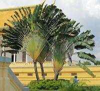 Wintergarten Balkonpflanze Terrasse i! Baum der Reisenden !i Sämereien exotisch