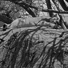 70x70 verre trempé Mur Art Image farniente lionne par Charlie Hamilton JAMES