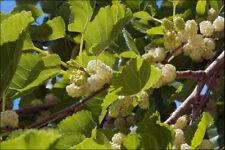 Saatgut Weiße Maulbeere Morus alba 2000 Samen