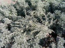 Artemisia absinthium ABSINTH or WORMWOOD Seeds