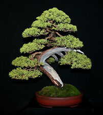 Genévrier de chine-juniperus chinensis - 25 graines-evergreen-bonsai