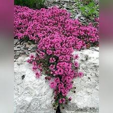 H018 Creeping Thyme Scarlet x25 seeds