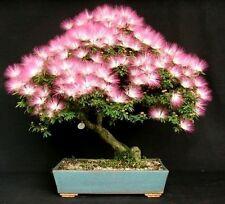 Bonsai seeds - Mimosa Silk Tree, Albizia julibrissin, Northern, Tree seed