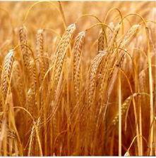 160 BARLEY Hordeum Vulgare Grain Grass Cover Crop Beer Seed V-069 (Combo S/H)