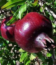 Raro Enano Negro Granada Punica Granatum, Fruta Arbusto, Oscuro, 10cm