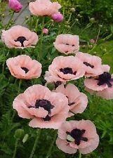 Oriental Poppy 'Princess Victoria Louise'/ Papaver orientale/ Heritage/100 Seeds