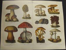 QueIIa età funghi di stampa 1909 lito pietra morchel fungo champignon