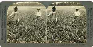 Florida ~ BLACK MEN IN PINEAPPLE FIELD ~ Black Americana Stereoview 13738 22111