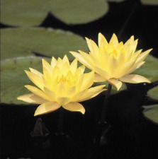 Hardy Yellow Water Lily Full Size Full Leaf Plant