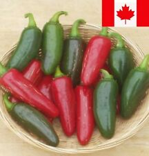 JALAPENO M Hot Pepper 60+ Seed Heirloom Most Popular Jalapeno Flavorful & Zesty!