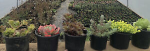 Selection Of  6  Succulents In 9-10cm Pots . Well Established . Hardy Garden