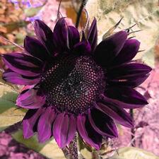 'Moulin Rouge' Series Purple Black Sunflower Seeds, 40PCS