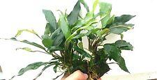 PLANTA DE ACUARIO: ANUBIA MINIMA PLANTA MADRE 2 UNIDADES.