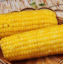 FD951 Sweet Tasty Corn Seeds Heirloom Vegetable Seed Popcorn Organic Non-GM 10PC