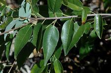 Acer oblongum Evergreen Maple Tree Seeds!