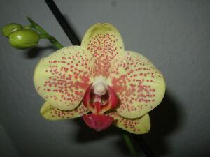 "Orchidee Phalaenopsis Schmetterlingsorchidee  ""Aletto Yellow""  // 5072"