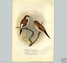 1899 Indian Silver Bill African Finch Bird Lithograph Book Plate F W Frohawk