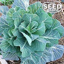 Georgia Southern Collard Green Seeds - 500 SEEDS-SAME DAY SHIPPING