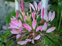 cleome, ROSE QUEEN, SPIDER FLOWER, rose pink, 150 seeds! GroCo
