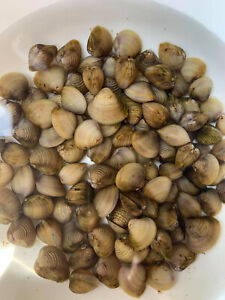 100 Beautiful White Freshwater Clams For Aquariums,Ponds, water filter /fishfood