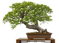 Garten Bonsai die ULME ein winterharter Bonsai Baum - Japanischer Garten !
