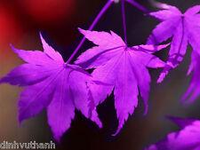 Purple Maple Seeds Rare Color Beautiful Purple Ghost Bonsai Plants Trees - 50PCS