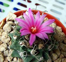 Turbinicarpus Alonsoi (20 SEEDS) Very Rare Cactus Succulent Plant Korn Samen