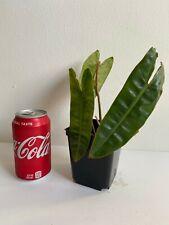 Rare Philodendron Billietiae Aroid