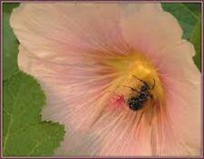 30+ GIANT SALMON COLOR DANISH HOLLYHOCK FLOWER SEEDS